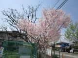 南部入口の桜